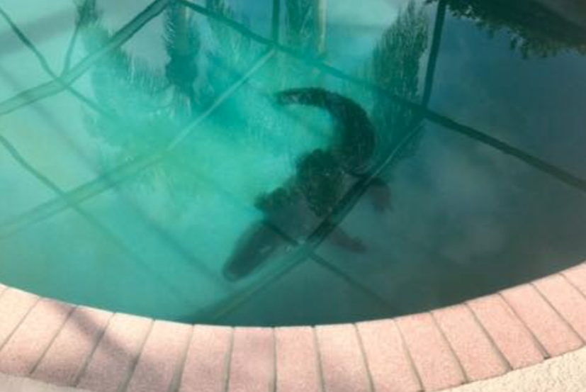 Massive Alligator Lurks At Bottom Of Florida Swimming Pool