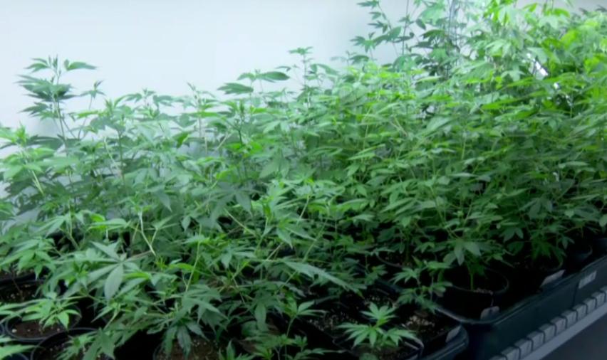 marijuana the deceptive drug