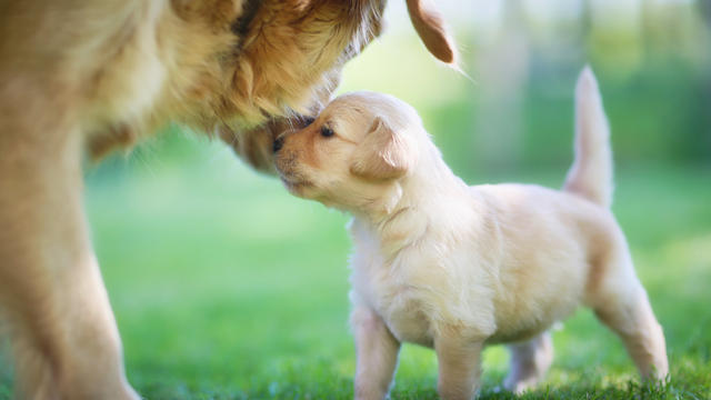 Peak puppy cuteness achieved at 8 weeks, scientists say