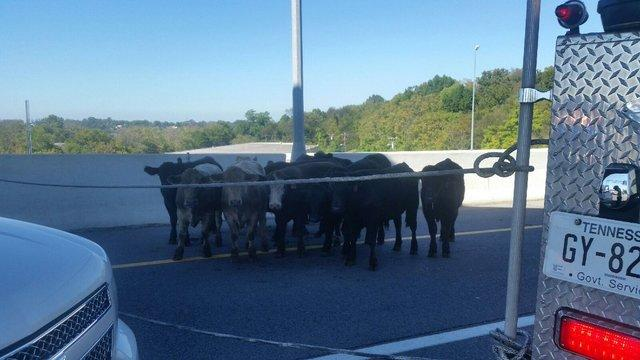 Cows block traffic on Tennessee highway after semi overturns