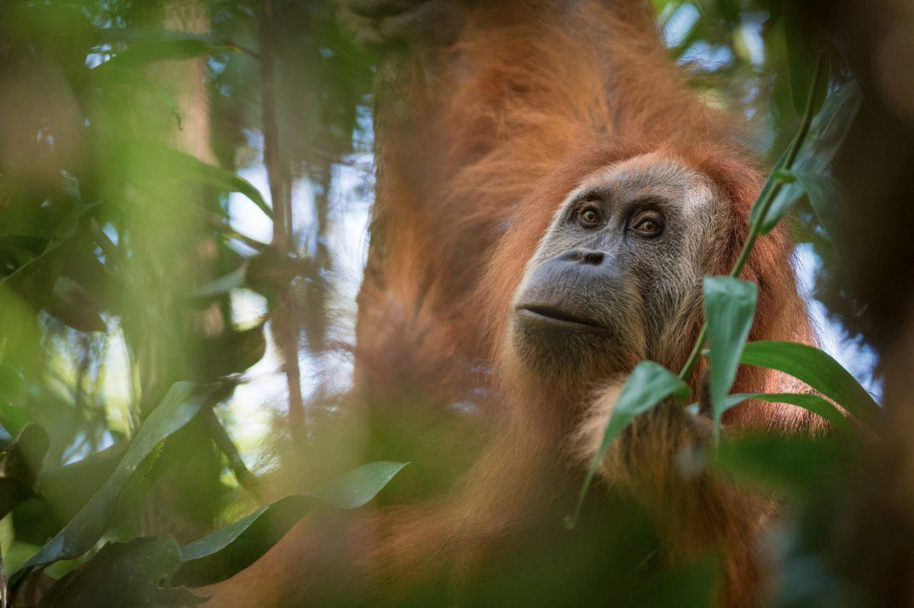 Orangutan Sumatera Orangutan group...