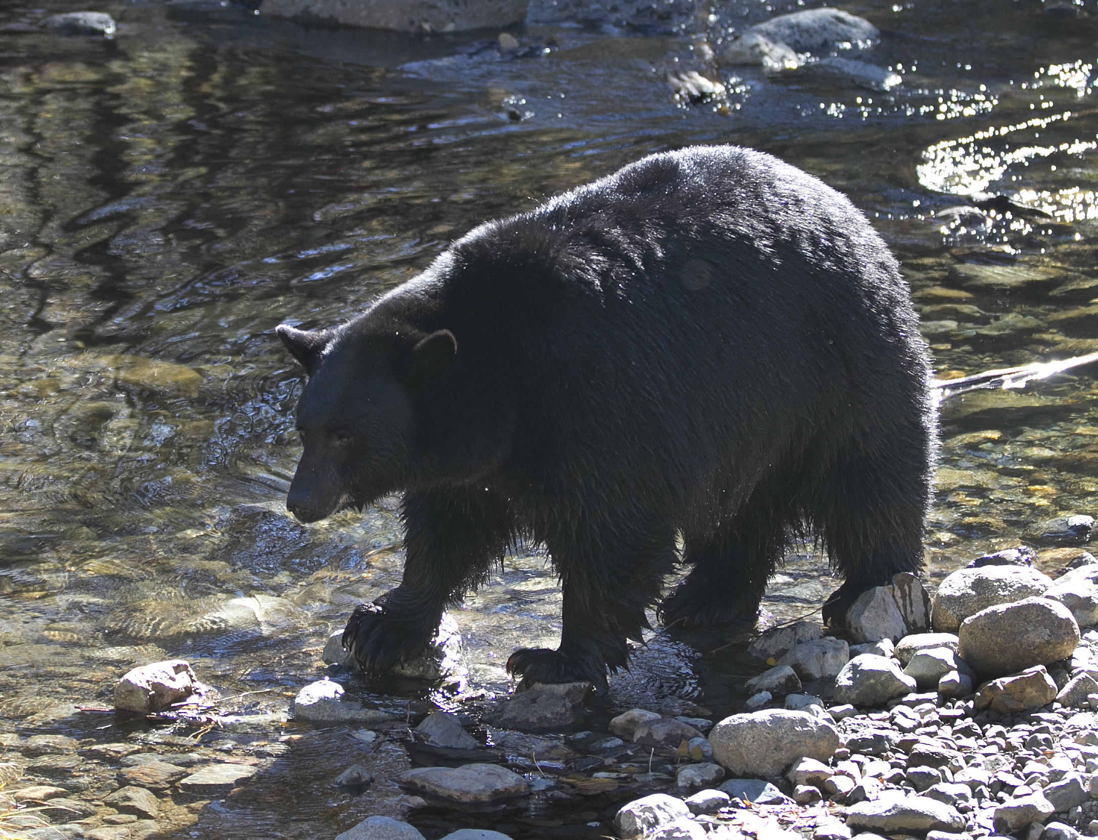 After 80-year absence, black bears return to Nevada