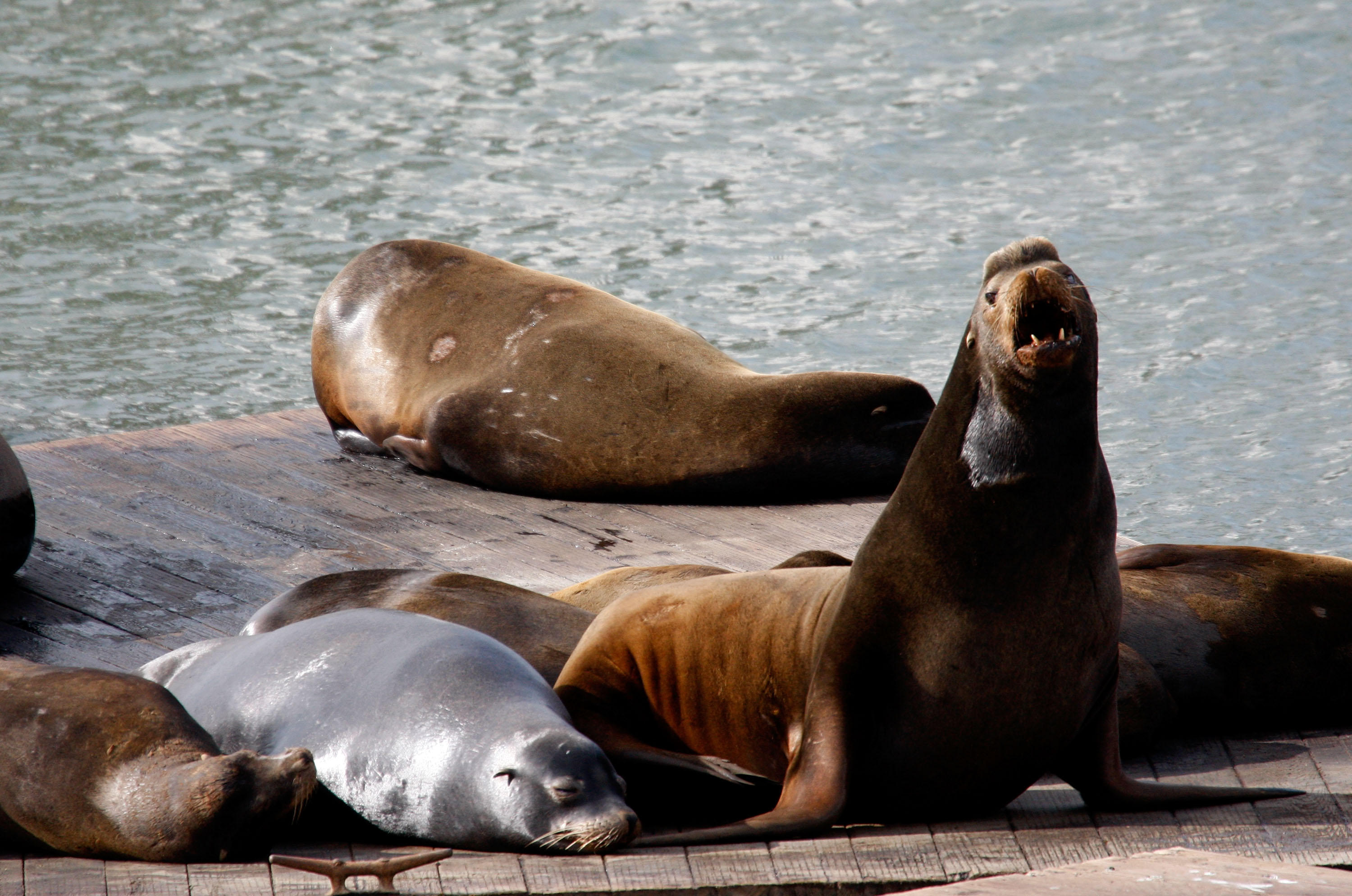 Second sea lion attack in 24 hours in San Francisco Bay