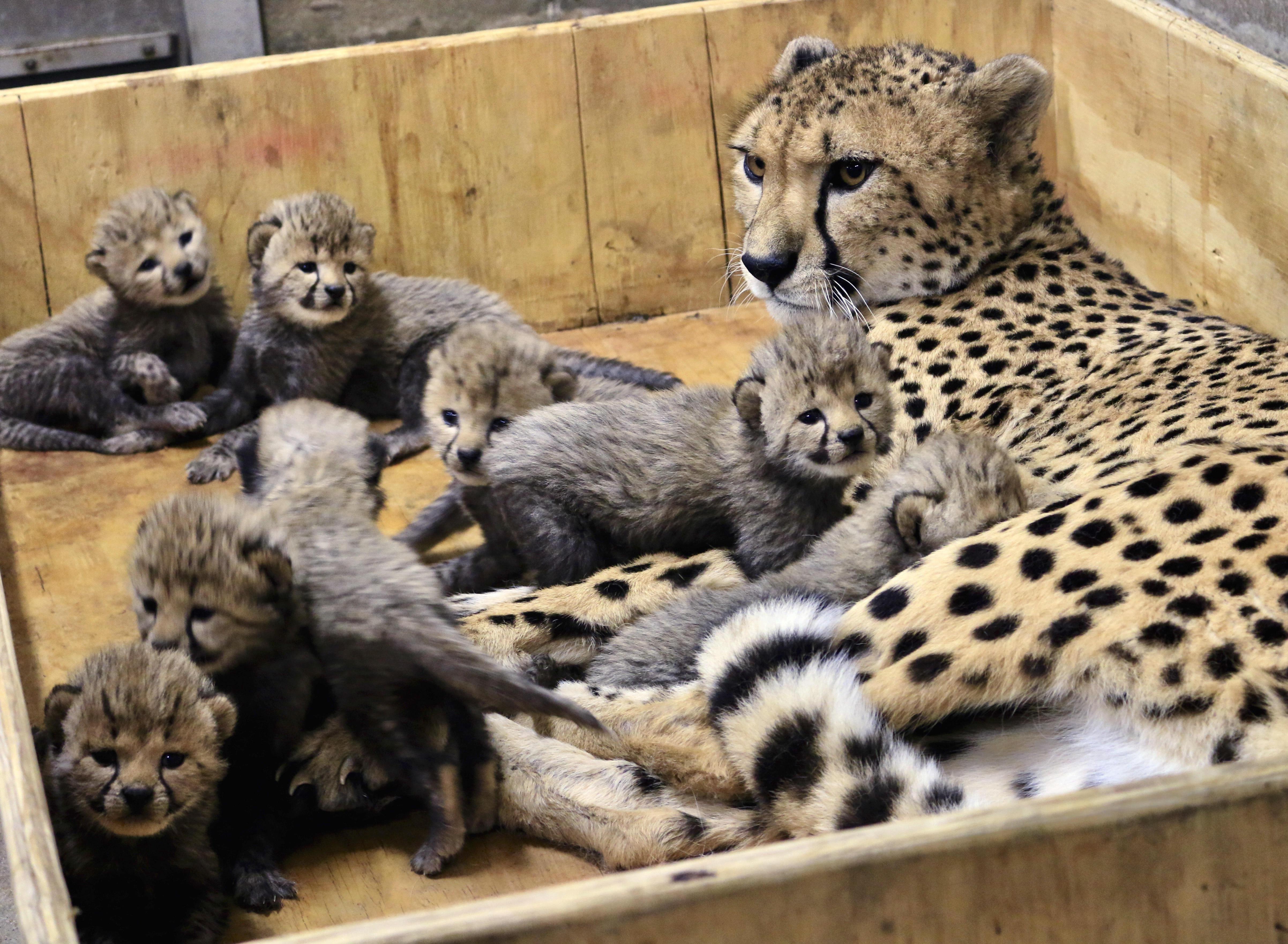 Cheetah named Bingwa gives birth to 8 cubs at St  Louis Zoo