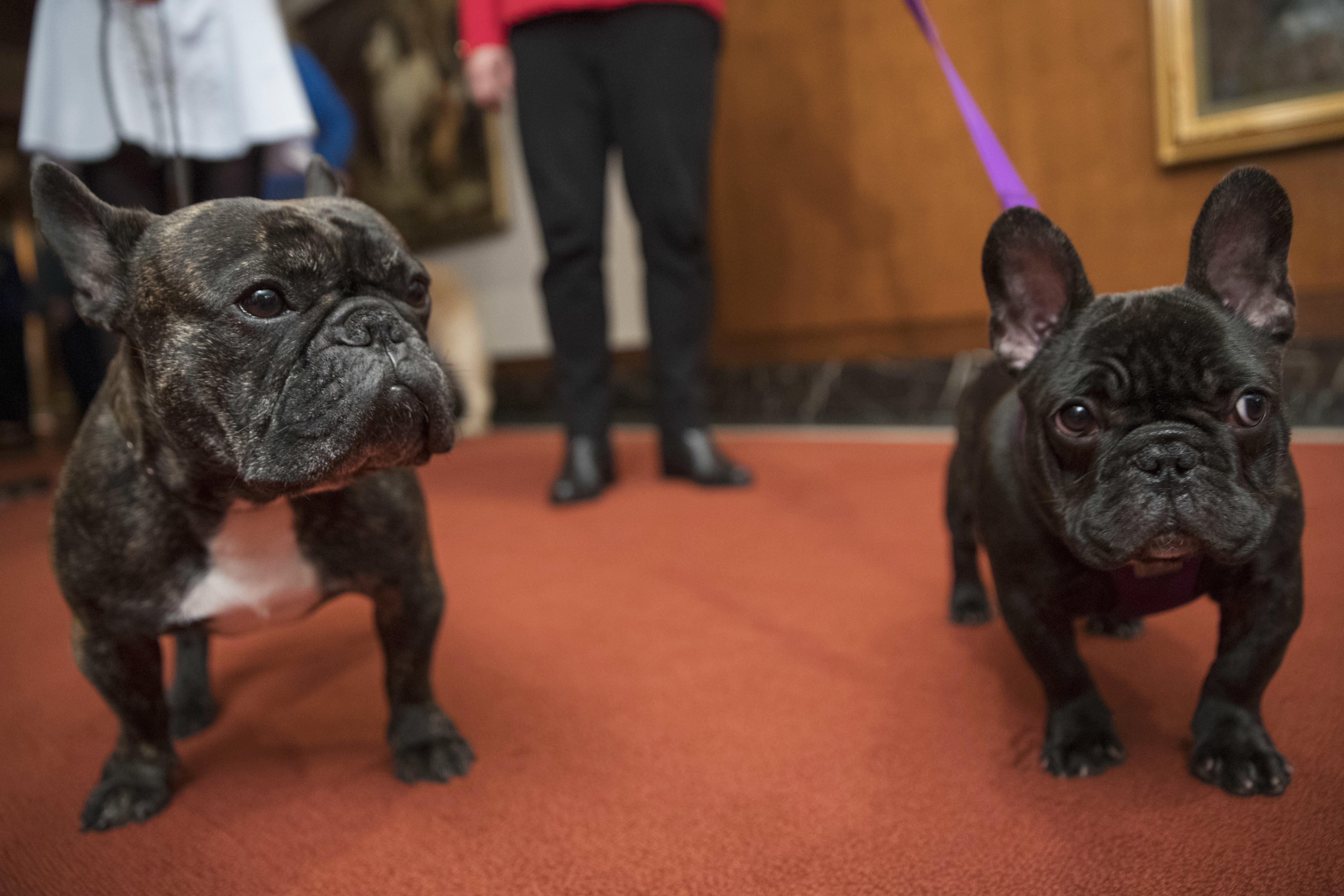 Top Us Dog Breeds Labs Lead French Bulldogs Leap In