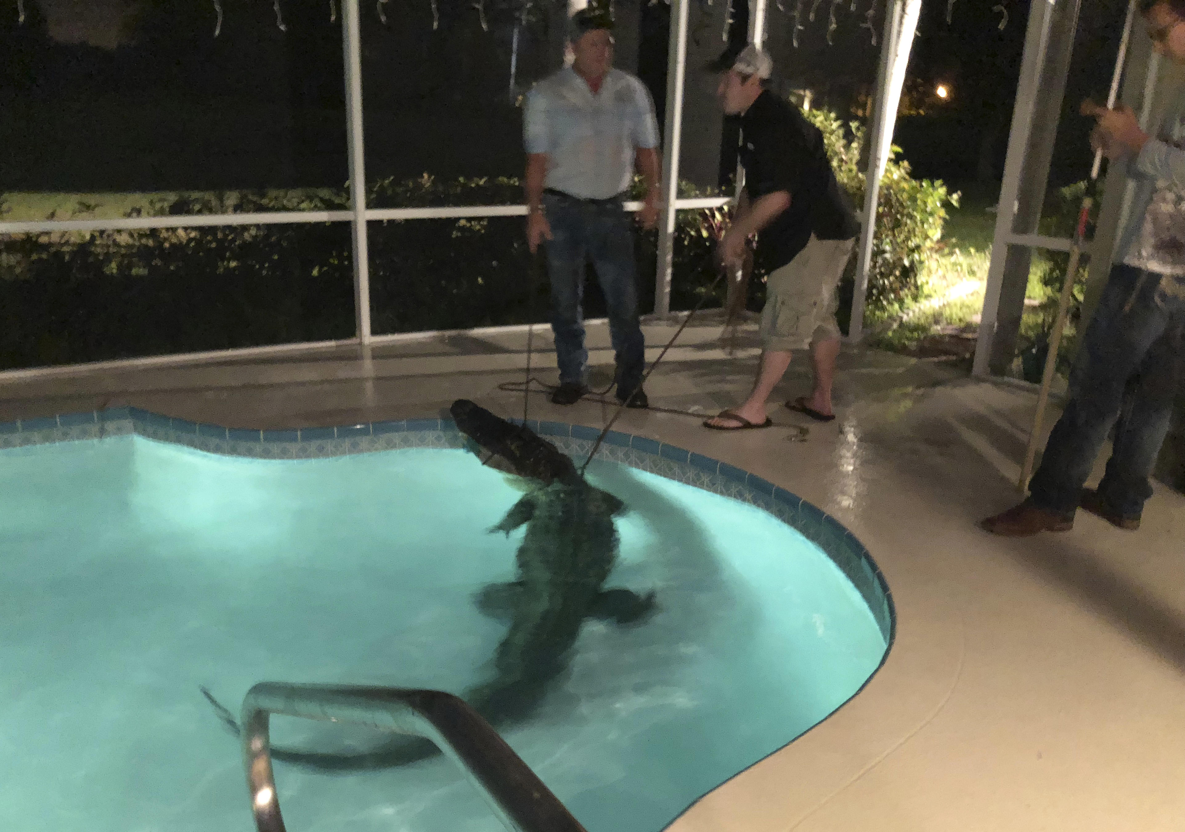 Gator found in Florida family\'s backyard swimming pool - CBS News