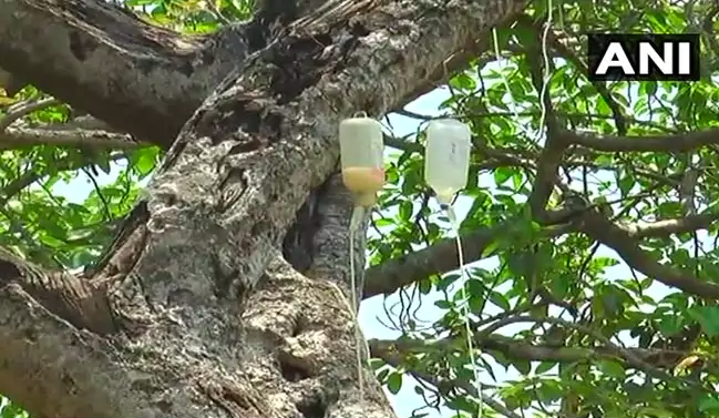 Dying 700-year-old Banyan tree put on a saline drip - CBS News