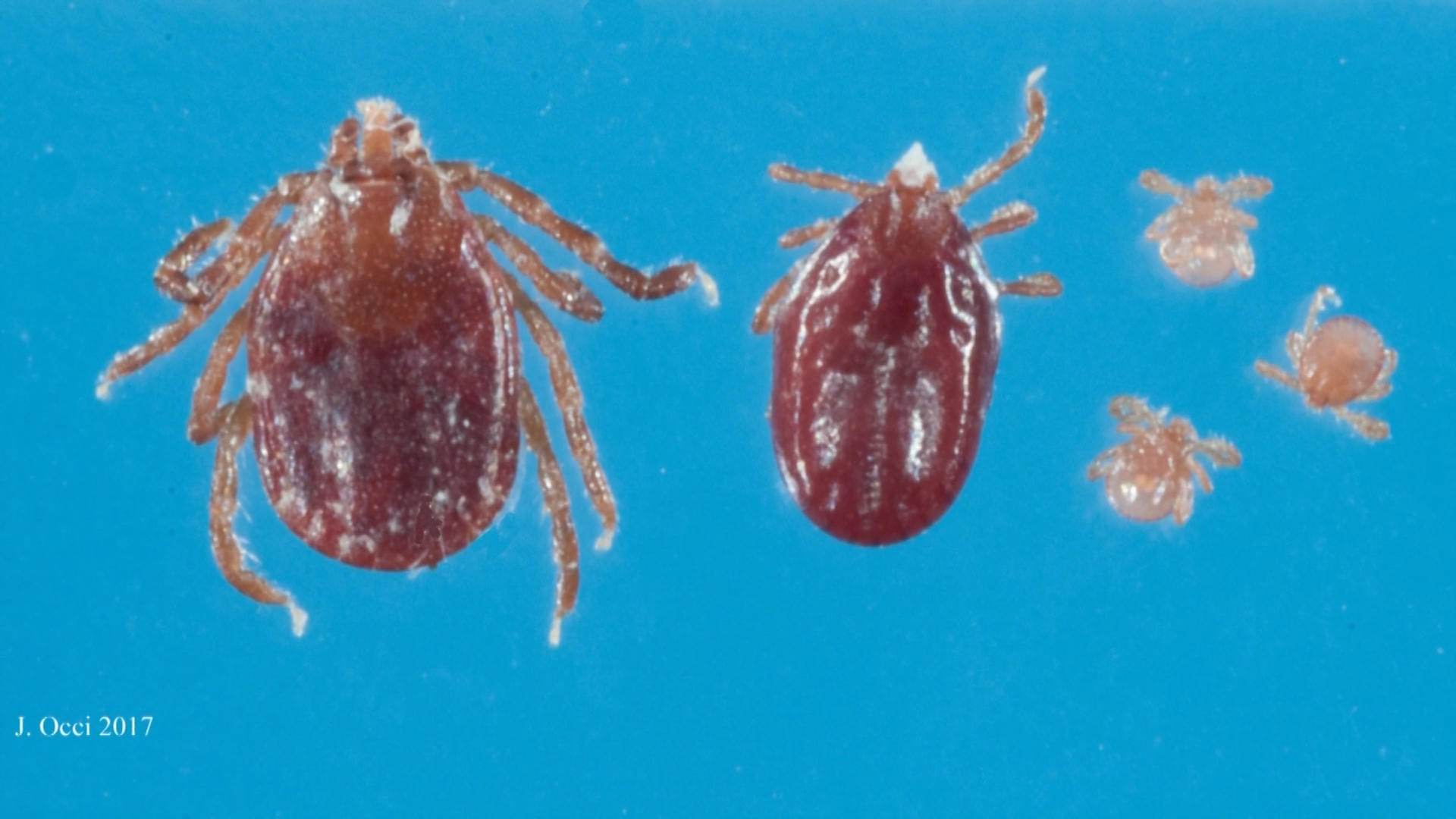 east asian tick species arrives in new jersey could carry dangerous