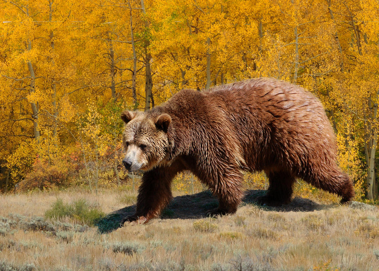 U S  won't restore grizzly bear protections near Yellowstone