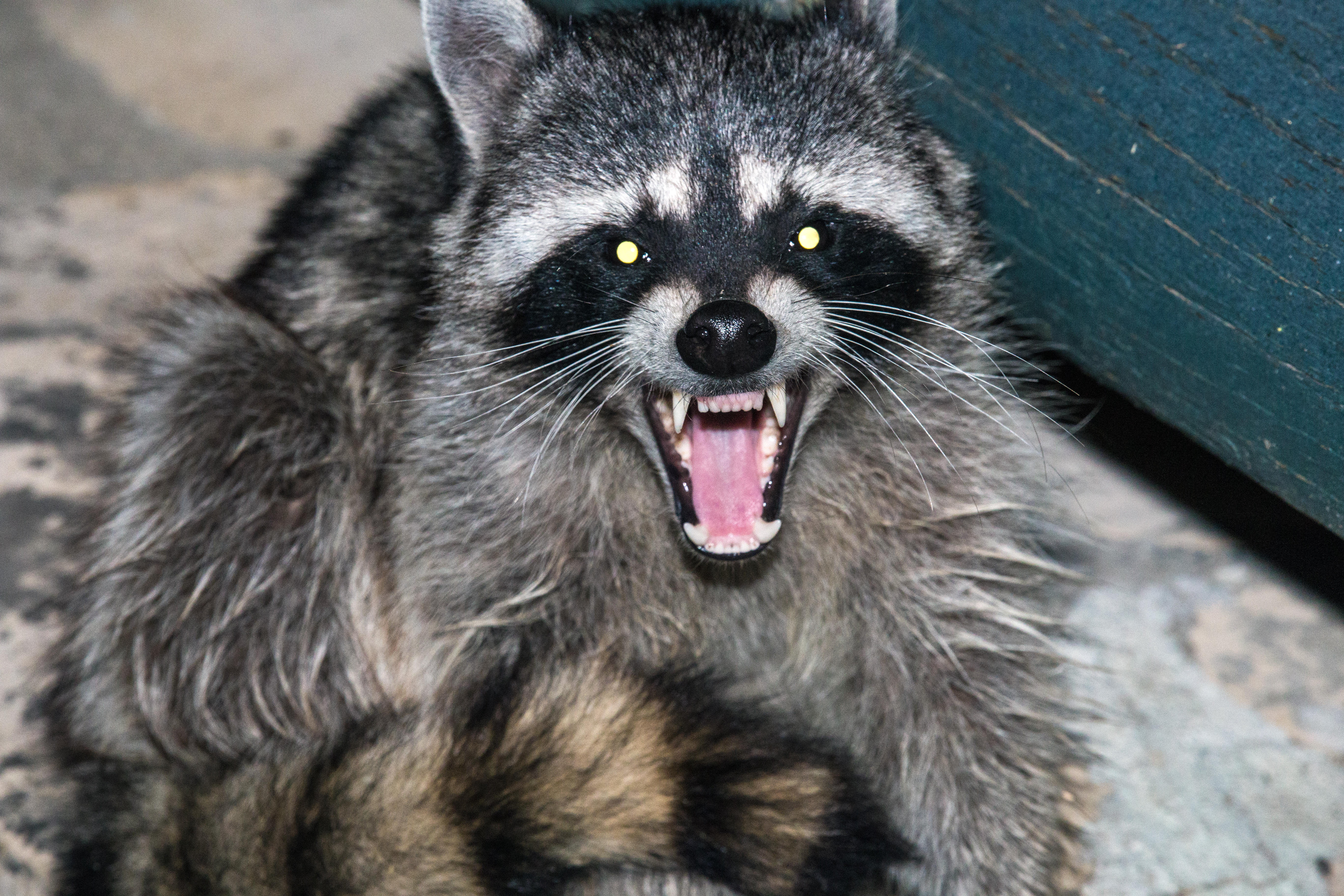 Summer is peak rabies season  Here's what you need to know
