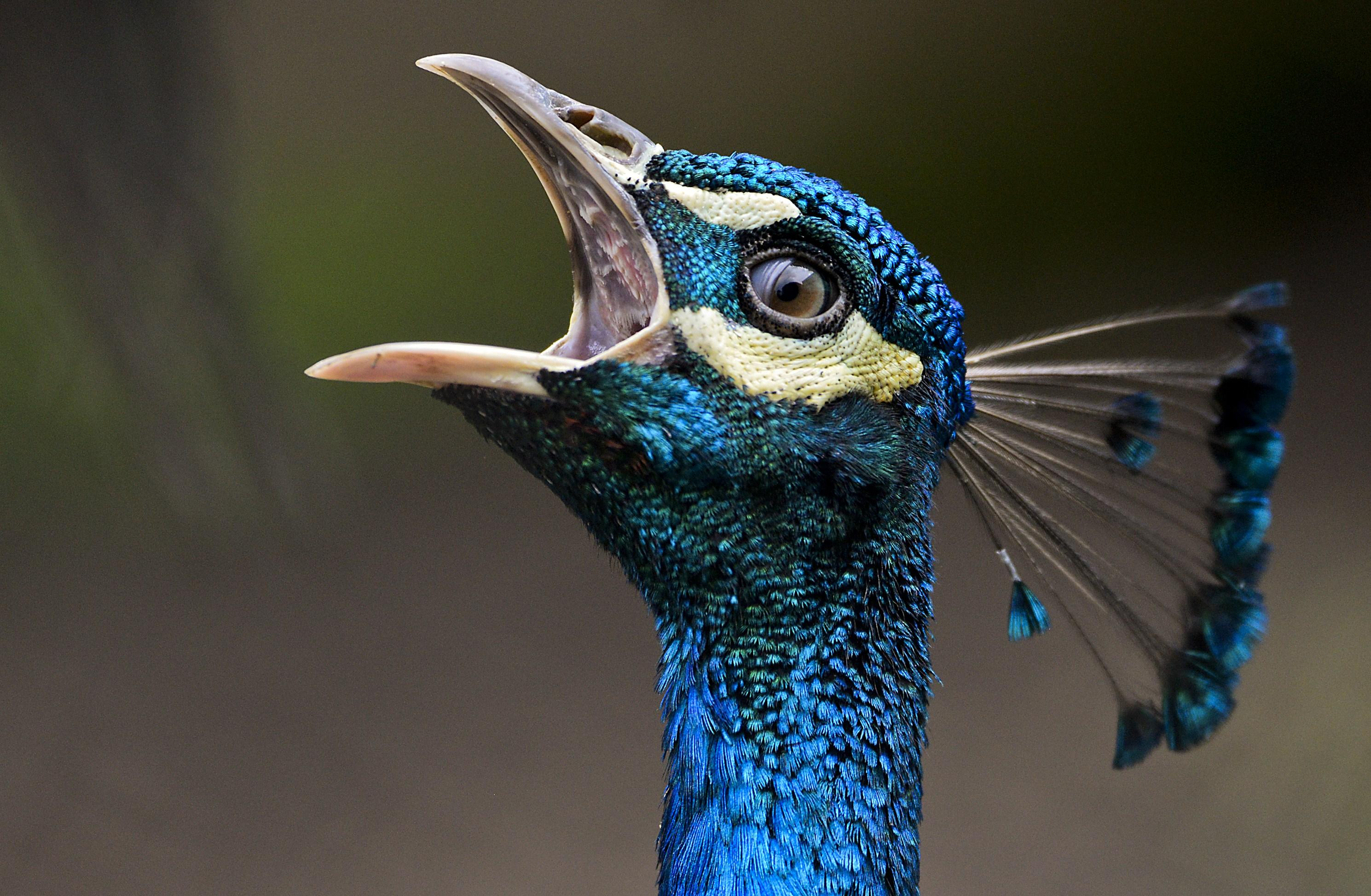 Feral peacocks are attacking luxury cars after seeing their own reflections
