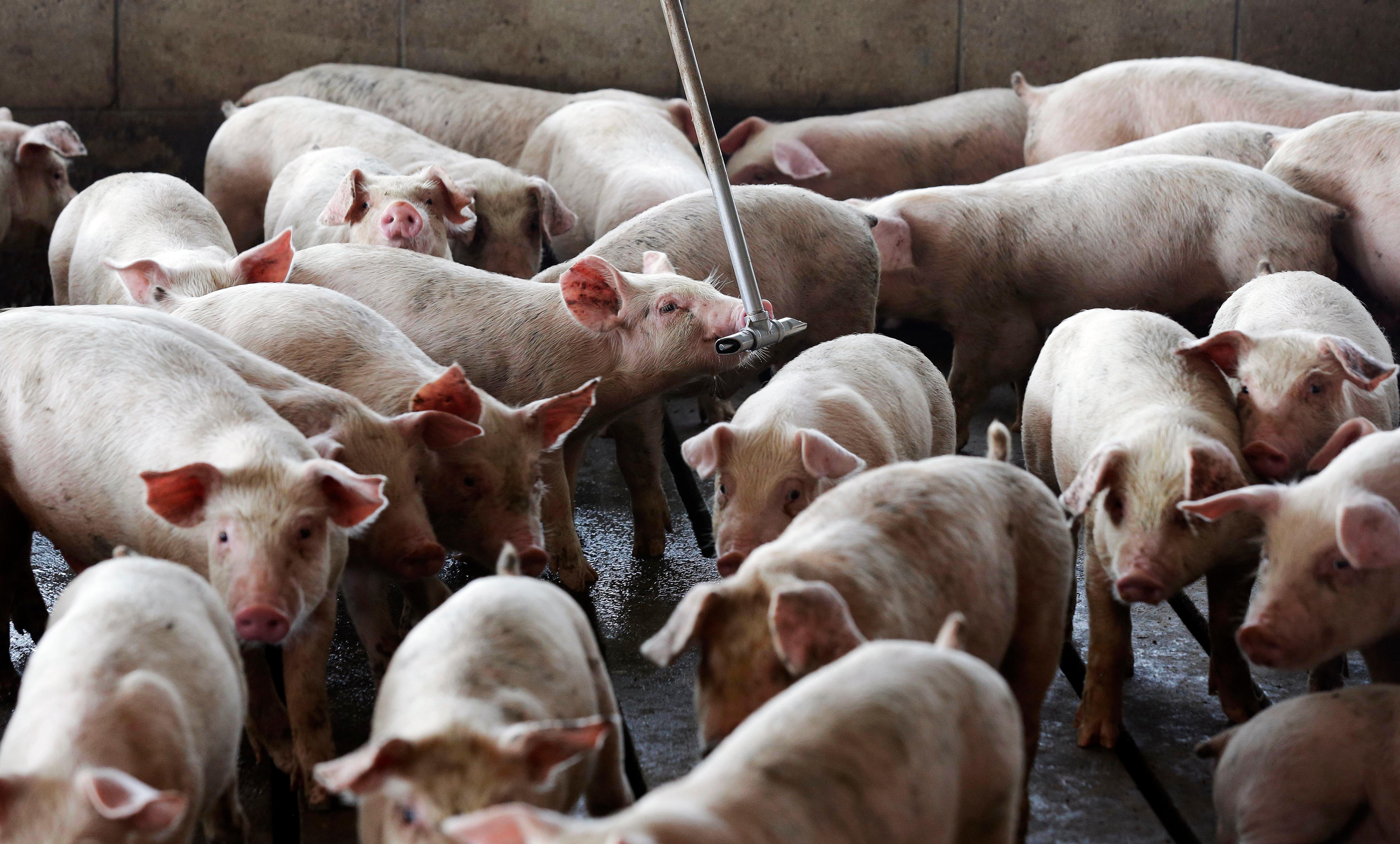 Smithfield Foods ordered to pay $473 5M for pig stench - CBS