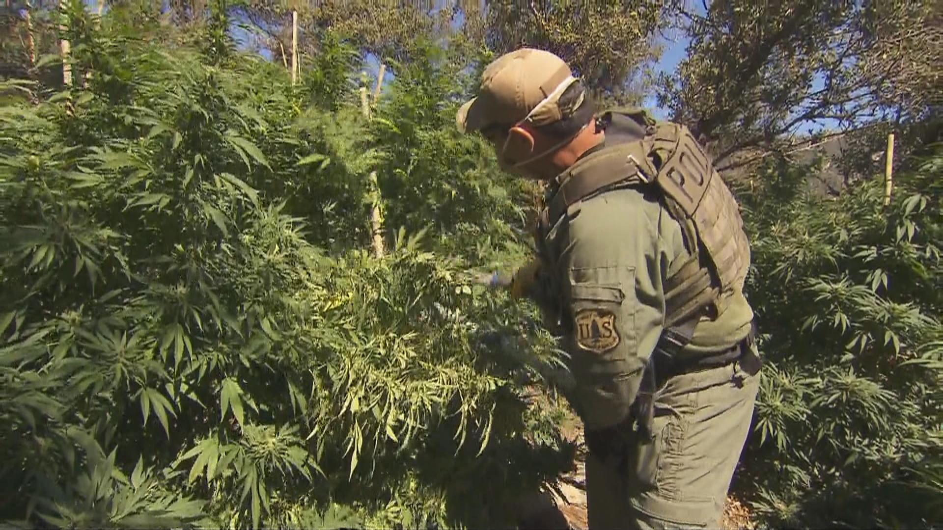 Illegal marijuana farms ravage America's national forests