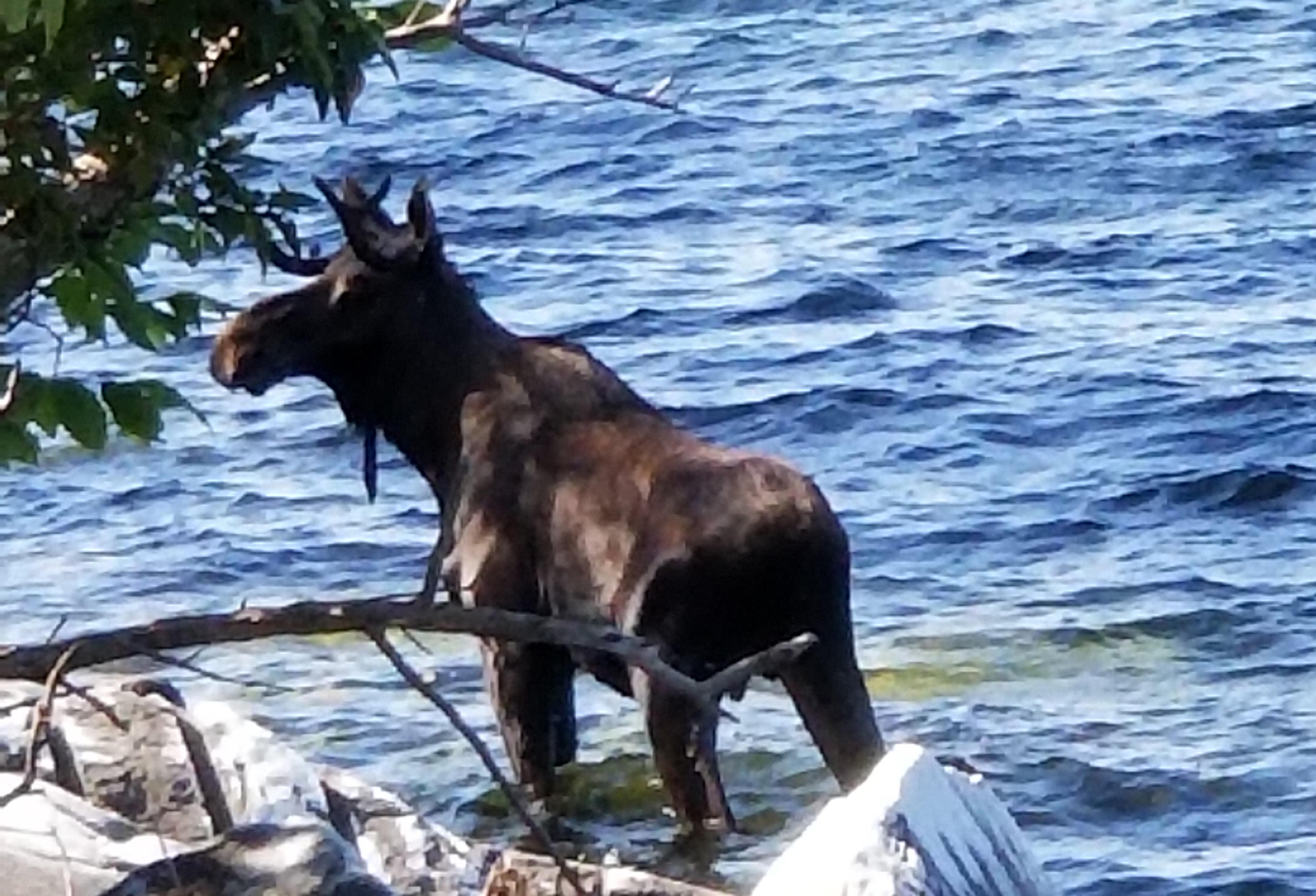 Moose drowns in Lake Champlain after being crowded by