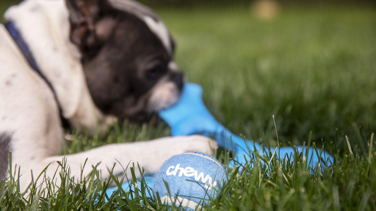 A dog with a Chewy tennis ball