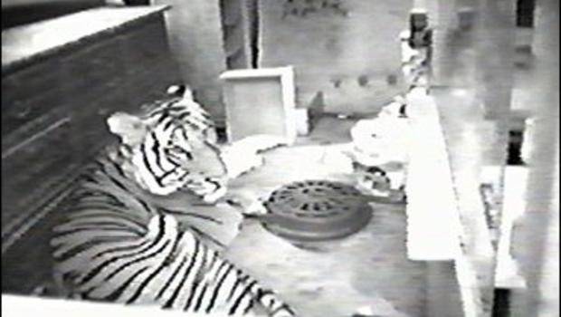 Pet Tiger Bites Nyc Man Cbs News