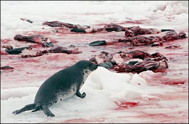 the atlantic seal hunt Hungry east coast seal populations have surged in recent decades, spurring calls for an increased seal hunt -- and even a possible cull -- to protect fragile caplin and northern cod stocks.