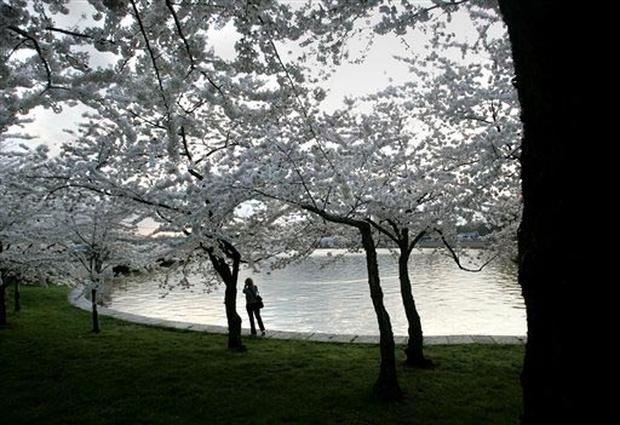 Cherry Blossoms 2005