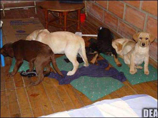 Jail for vet who smuggled heroin to United States  in puppies