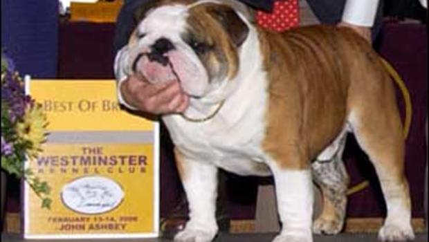 English Bulldog Purina Dog Show
