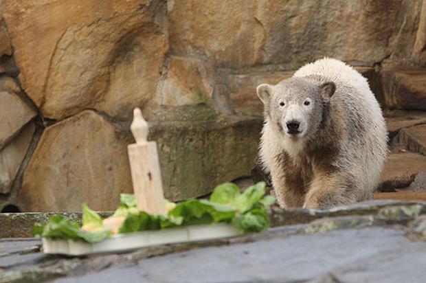 Knut's 1st  Milestone