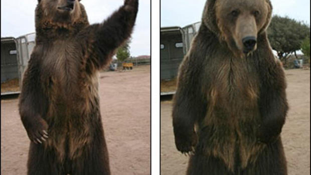 Show biz grizzly bear kills trainer cbs news publicscrutiny Choice Image