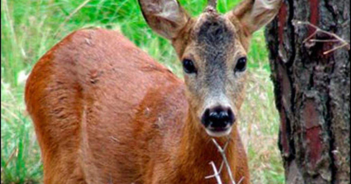 Single Horned Deer Excites Fantasy Fans Cbs News