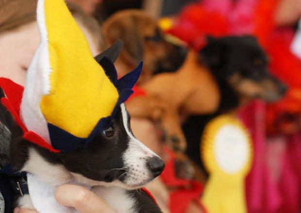 Costumed Canines