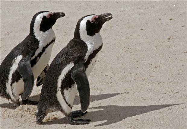 South Africa's Penguins In Peril