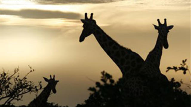 In this Aug. 2, 2009 photo, giraffes from Africa's most endangered giraffe subspecies feed at sunrise, in the bush near Koure, Niger. By all accounts, they should be extinct. Instead, their numbers have quadrupled to 200 since 1996, an unlikely boon exper