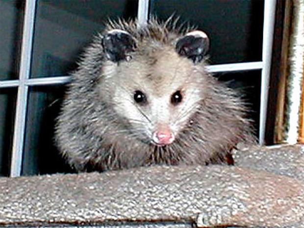 Opossum (AP Photo, file)