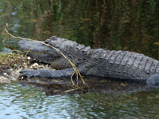 Alligator attacks