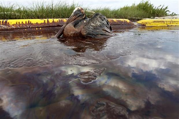 Animals Hurt By Gulf Oil Spill