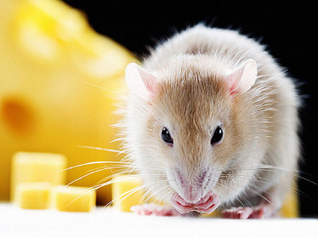 Rodent Hair - 11 Revolting Things Government Lets in Your Food