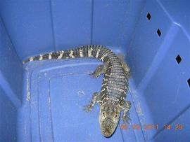 Pet Alligator Seized From Liquor Store In NY, Two Employees Ticketed