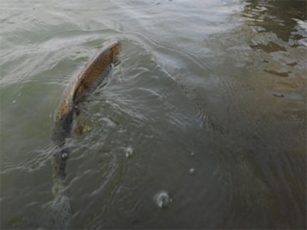 600 Pounds of Trout Stolen From Pond, Says Farmer