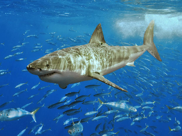 White Shark Five Most Dangerous Sharks To Humans Pictures Cbs News