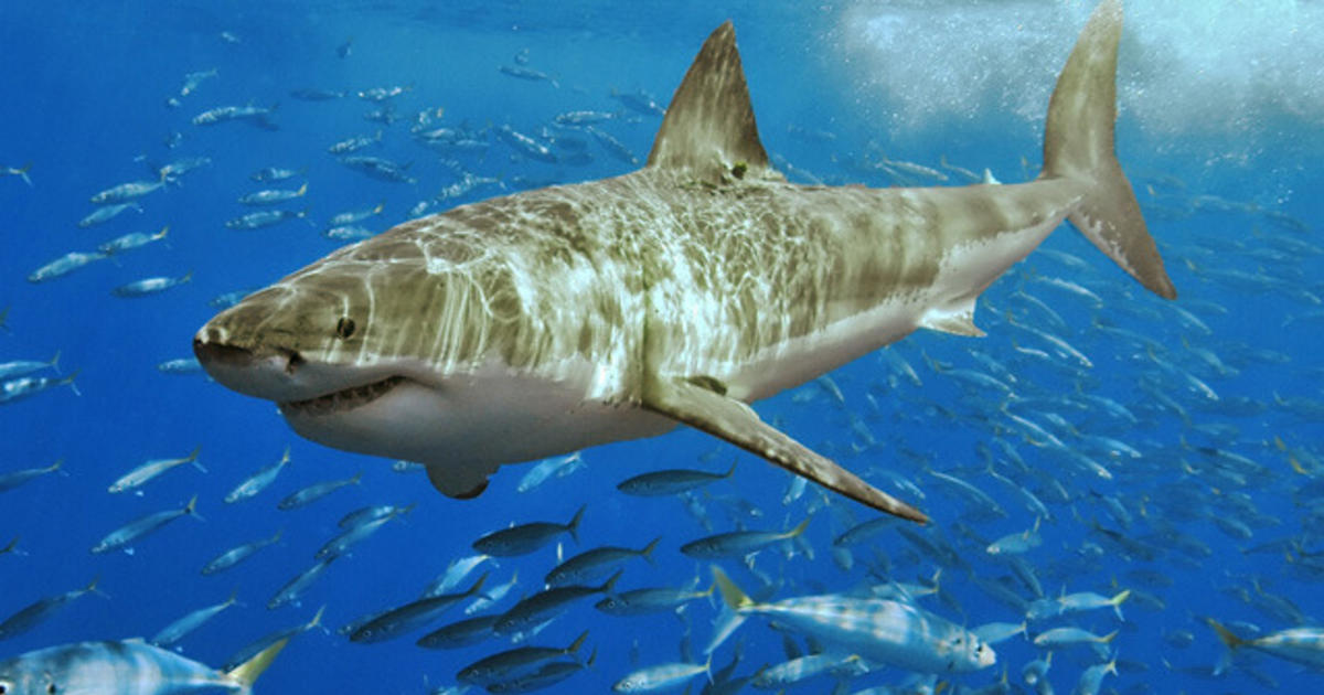 Five Most Dangerous Sharks To Humans Pictures Cbs News