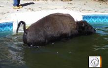 Buffalo Found in Ga. Pool