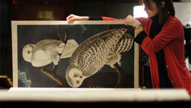 "An employee poses with a page depicting a Snowy Owl, from John James Audubon's book ""Birds of America"" during a photocall for the Frederick, 2nd Lord Hesketh collection, at Sotheby's auctioneers in London on December 6, 2010."