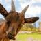 goat_000013082606XSmall.jpg
