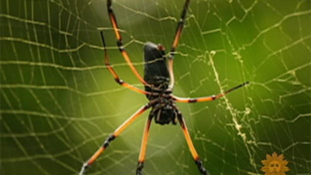 Spider silk is stronger than steel or Kevlar.