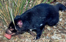 Tasmanian Devils Under Siege