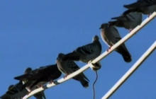 Pigeon Droppings Cause Roof to Crash