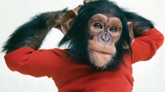 Nim Chimpsky, a chimp named for famed linguist Noam Chomsky in the film, Project Nim