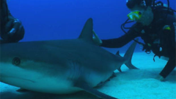 Could a fearsome underwater creature hold the key to preventing deadly infections in humans? Yes. Shark skin has been found to repel bacterial growth.