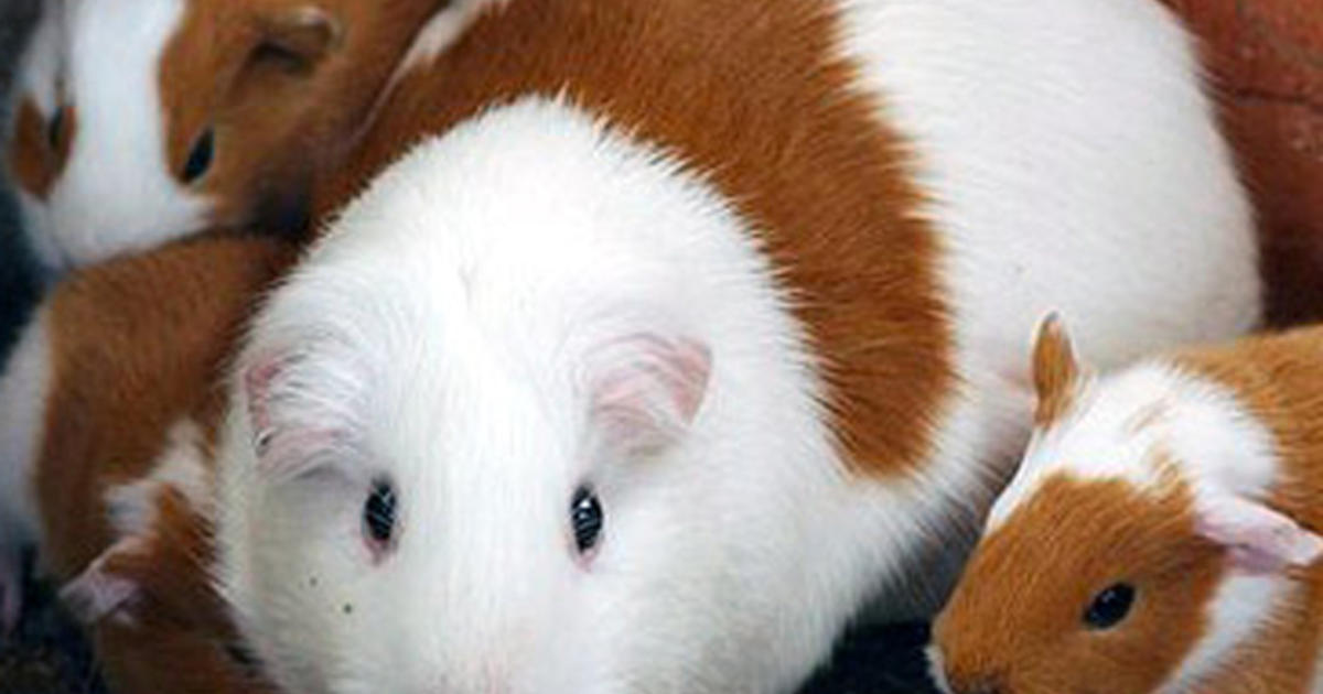 Guinea Pig Cleared To Room With Mich College Student For Emotional Support For The Student Cbs News
