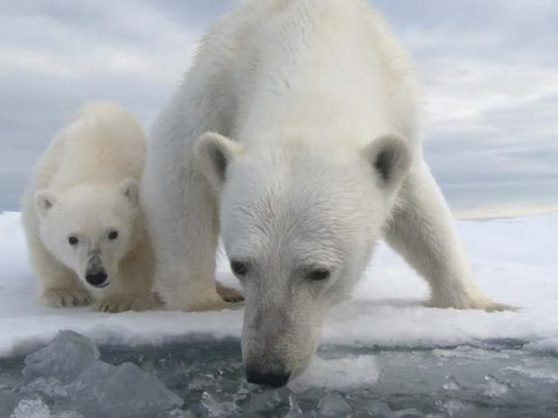 Polar bears, up close and personal
