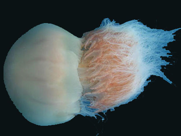 Giant jellyfish: A gooey invasion looms