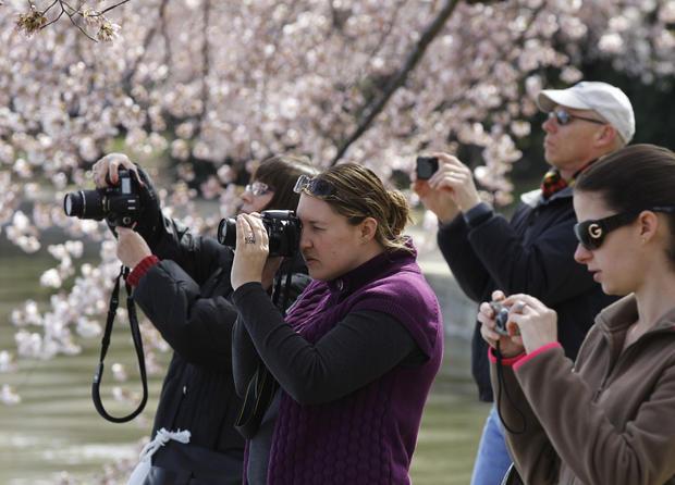 cherry_blossoms_AP110325131602.jpg